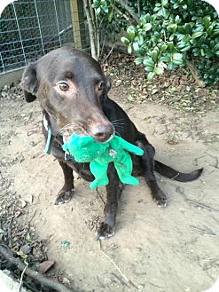 Labrador Retriever Dog for adoption in Verona, New Jersey - Katie