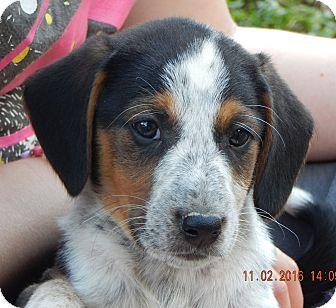 Beagle/English Shepherd Mix Puppy for adoption in West Sand Lake, New York - Zorro (7 lb) New Pics & Video