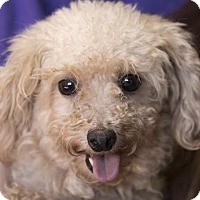 Miniature Poodle Dog for adoption in Colorado Springs, Colorado - Lavendar