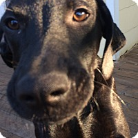 Adopt A Pet :: Chad ~ Black Lab Puppy - St Petersburg, FL