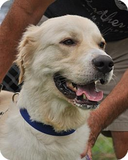 Golden Retriever/Great Pyrenees Mix Dog for adoption in Asheville, North Carolina - Moose