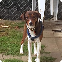 Terrier (Unknown Type, Medium)/Beagle Mix Puppy for adoption in Amherst, Ohio - BAMBI