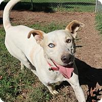 Adopt A Pet :: Koda - Saratoga, NY