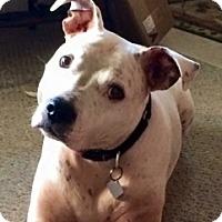 Adopt A Pet :: BOBO - Albany, NY