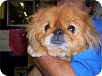 Pekingese Dog for adoption in Chesapeake, Virginia - Porkchop Face