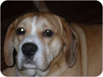 Beagle/English Bulldog Mix Dog for adoption in Newport, Vermont - Brock