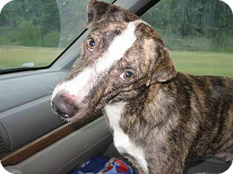Whippet/Basenji Mix Dog for adoption in Williston, Florida - Duncan