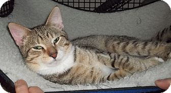 Domestic Shorthair Cat for adoption in Acme, Pennsylvania - Tigger