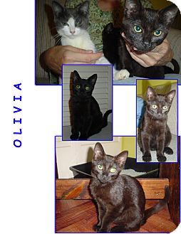 Domestic Shorthair Kitten for adoption in Bunnell, Florida - Olivia