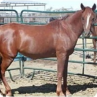 Arabian/Quarterhorse Mix for adoption in Phelan, California - Elise