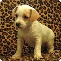 Adopt A Pet :: Milkshake - Brattleboro, VT