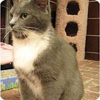 Adopt A Pet :: Socks - Centerburg, OH