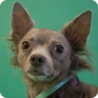 Chihuahua Mix Dog for adoption in Denver, Colorado - Piko