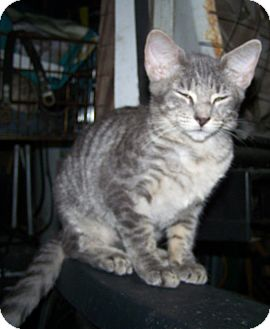 Domestic Shorthair Kitten for adoption in Morriston, Florida - Bobsie Twin 1