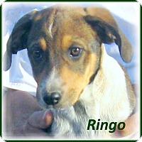 Adopt A Pet :: Ringo- Good Guy! - Marlborough, MA