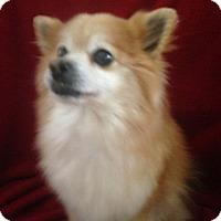 Adopt A Pet :: Tinkerbelle - Elkhart, IN