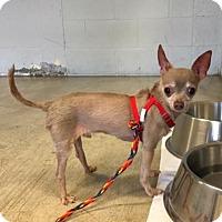 Adopt A Pet :: Pinto - Austin, TX