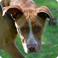 Hound (Unknown Type) Mix Dog for adoption in Sylva, North Carolina - Browny