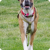Boxer Dog for adoption in Boise, Idaho - XENA
