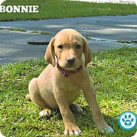 Adopt A Pet :: Bonnie - Kimberton, PA