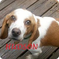 Adopt A Pet :: HUDSON - Ventnor City, NJ