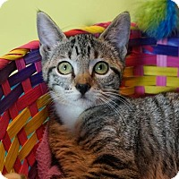Domestic Shorthair Kitten for adoption in Houston, Texas - Miss Howard