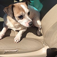 Chihuahua Mix Dog for adoption in Hohenwald, Tennessee - Tommy