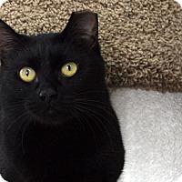 Domestic Shorthair Cat for adoption in Republic, Washington - Bitsie