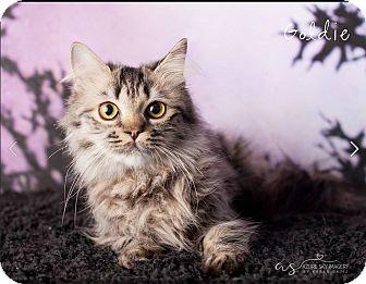 Persian Cat for adoption in Gilbert, Arizona - Goldie