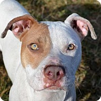American Bulldog Mix Dog for adoption in Ridgeland, South Carolina - Rody