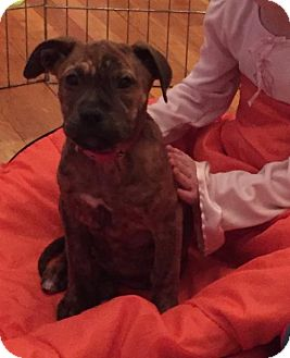 Boxer Mix Puppy for adoption in Rockville, Maryland - Baby Harley