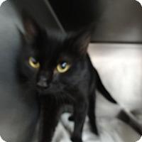Adopt A Pet :: COUGAR - Tucson, AZ
