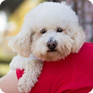 Bichon Frise/Poodle (Miniature) Mix Dog for adoption in Placentia, California - Jackson