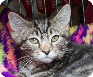 Domestic Shorthair Kitten for adoption in Sacramento, California - Ferris M
