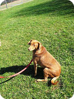 Labrador Retriever/Doberman Pinscher Mix Dog for adoption in baltimore, Maryland - Coke