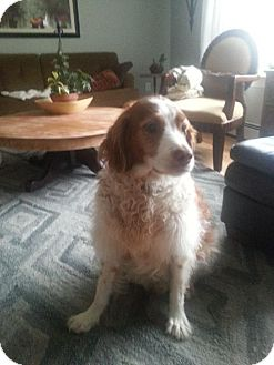Brittany Dog for adoption in Pittsburgh, Pennsylvania - NS/Chip