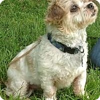Shih Tzu Dog for adoption in Kingwood, Texas - Rascal