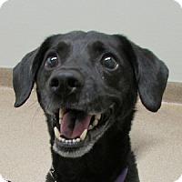 Adopt A Pet :: Chico - Gilbert, AZ