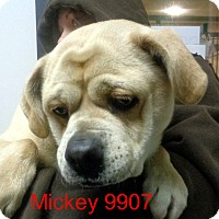 Adopt A Pet :: Mickey - baltimore, MD