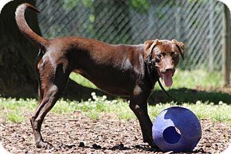 Labrador Retriever Puppy for adoption in Temple, Georgia - Anna