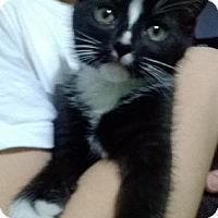 Adopt A Pet :: ATTICUS - Ridgewood, NY