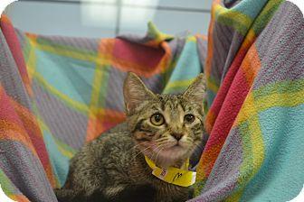 Domestic Shorthair Kitten for adoption in East Smithfield, Pennsylvania - Morgana