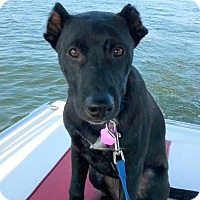 Labrador Retriever Mix Puppy for adoption in East Rockaway, New York - Shirlee
