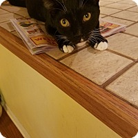 Domestic Shorthair Kitten for adoption in Tampa, Florida - Mazie