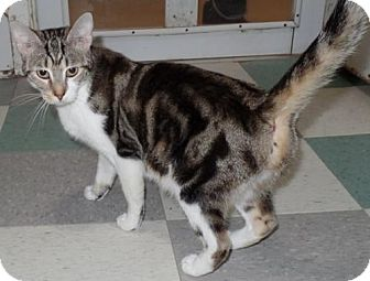 Domestic Shorthair Cat for adoption in Dallas, Texas - GINA