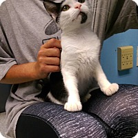 Domestic Shorthair Kitten for adoption in North Brunswick, New Jersey - Checkers