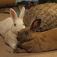 Adopt A Pet :: Duchess - Tustin, CA
