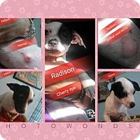 Rat Terrier/Jack Russell Terrier Mix Dog for adoption in San Bernardino, California - Omni
