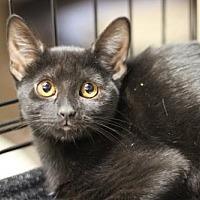 American Shorthair Cat for adoption in Austin, Texas - Leia