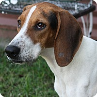 Treeing Walker Coonhound Dog for adoption in Joplin, Missouri - May